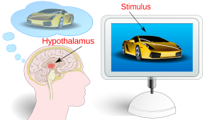 [neuromarketing image by Antaya, wikimedia commons]